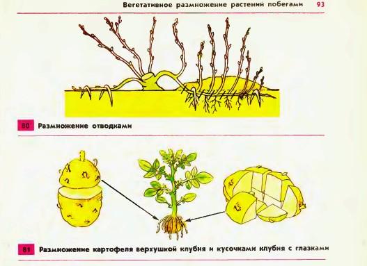 класс 2 размножение таблица растений