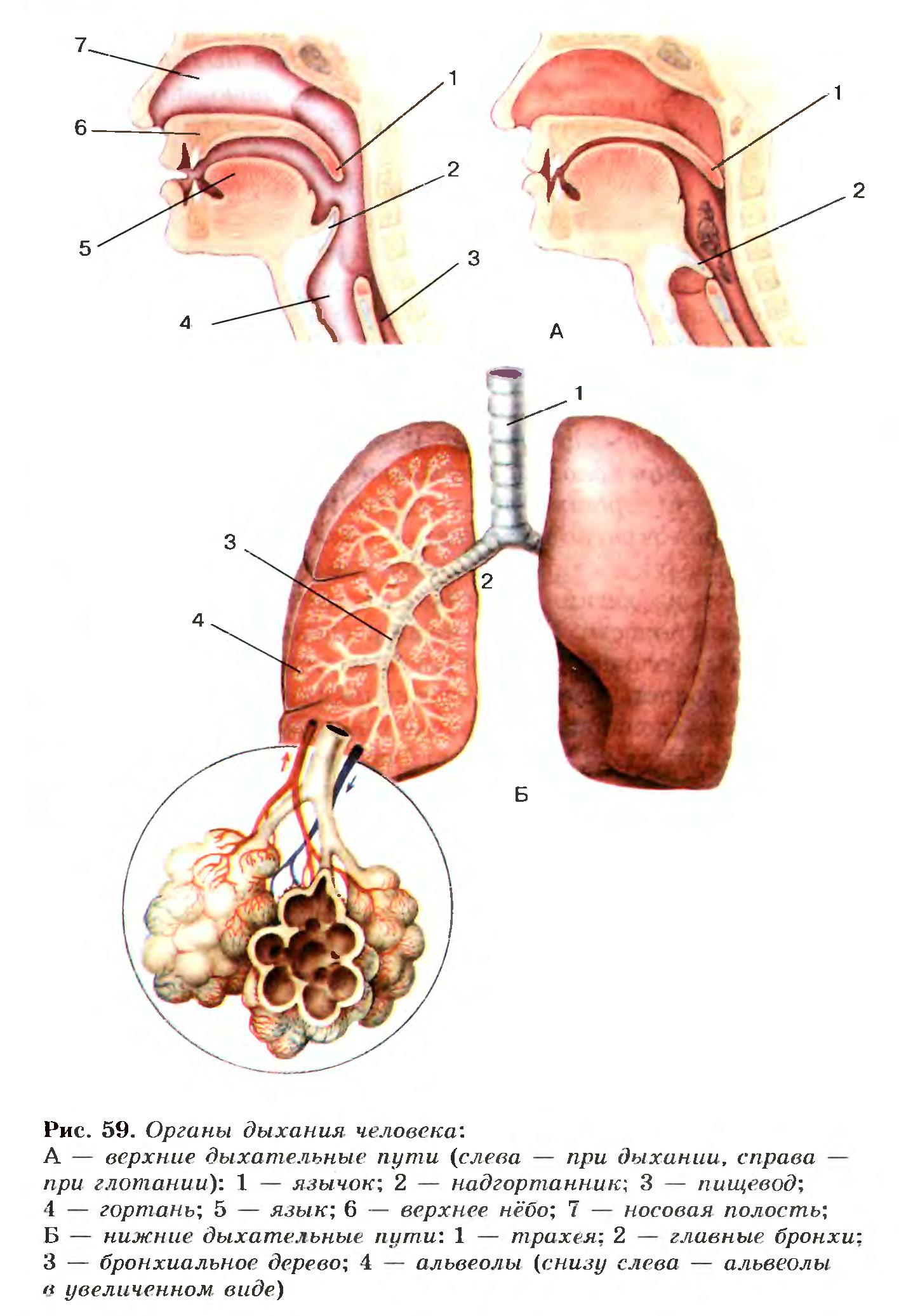 Значение дыхания Органы дыхательной системы дыхательные пути  Органы дыхания человека