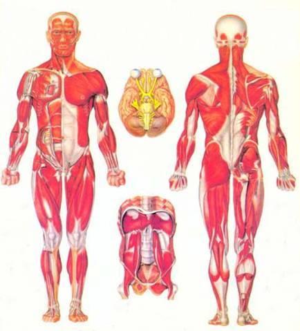 Анатомия физиология психология и гигиена человека Полные уроки  Анатомическое строение человека