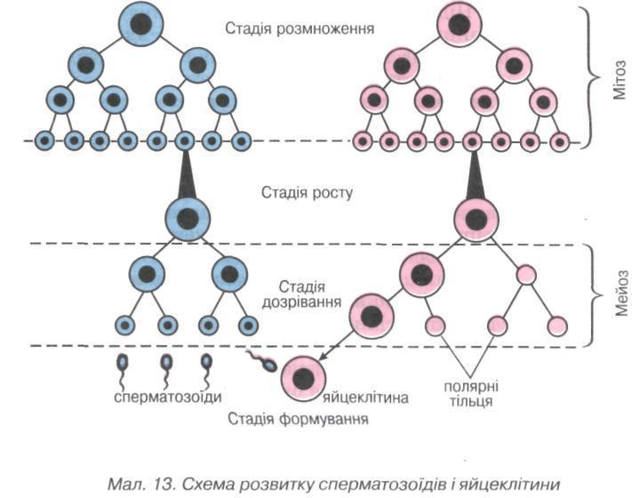 Схема розвитку сперматозоїдів і яйцеклітини