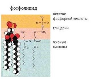 Структура фосфоліпіда