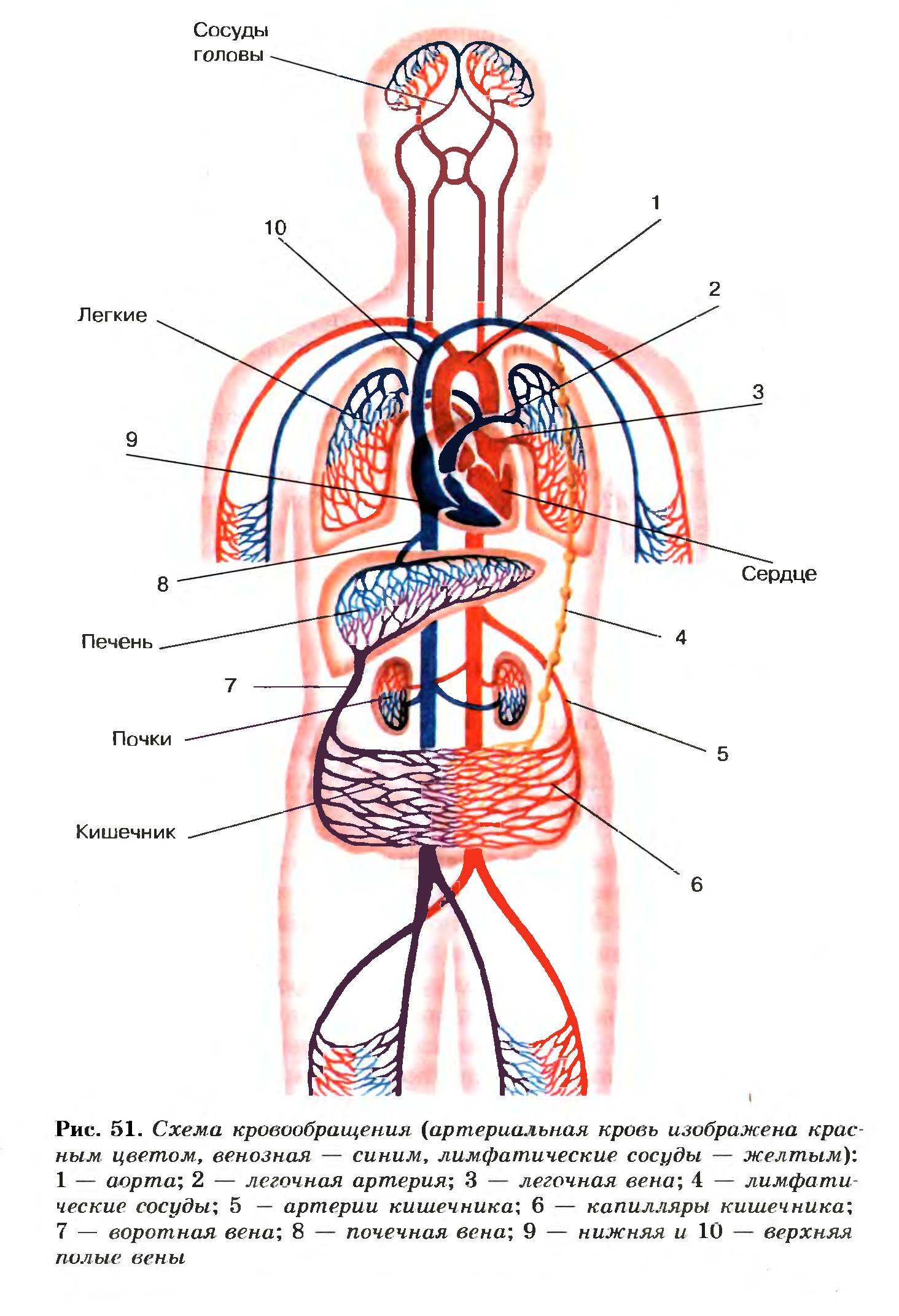 Круги кровообращения человека схема