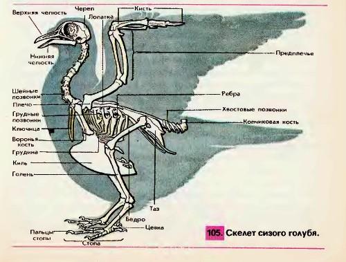 Особенности строения скелета и мускулатуры птиц, связанные с полетом - Гипермаркет знаний