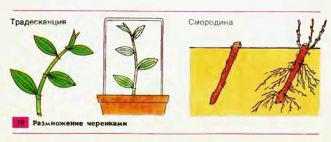 Вегетативное размножение растений реферат 5296