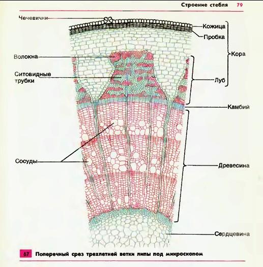 Слои клеток стебля