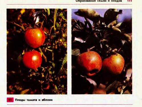 Образование семян и плодов Гипермаркет знаний Образование семян и плодов