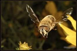 Польот пчели.