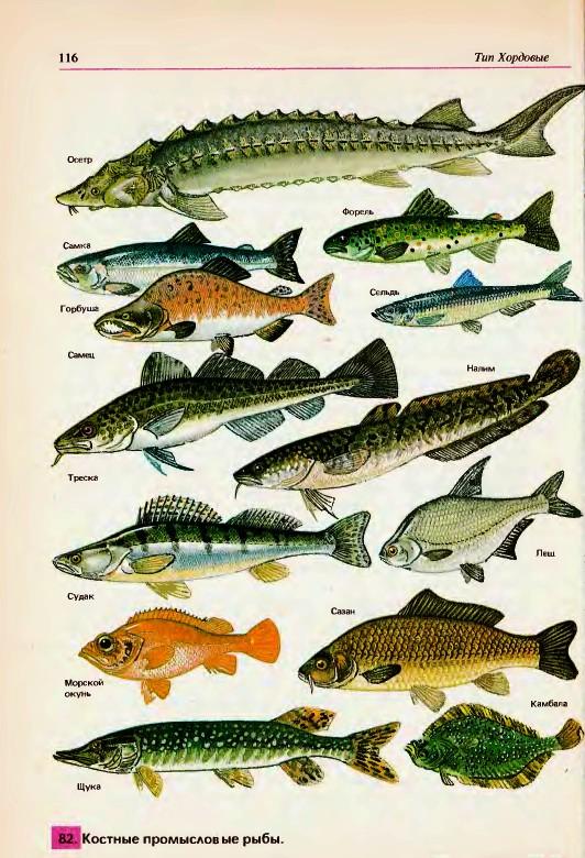 Многообразие рыб Класс костистые рыбы Общие черты рыб  Костные рыбы