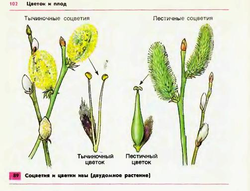 Ива цветки