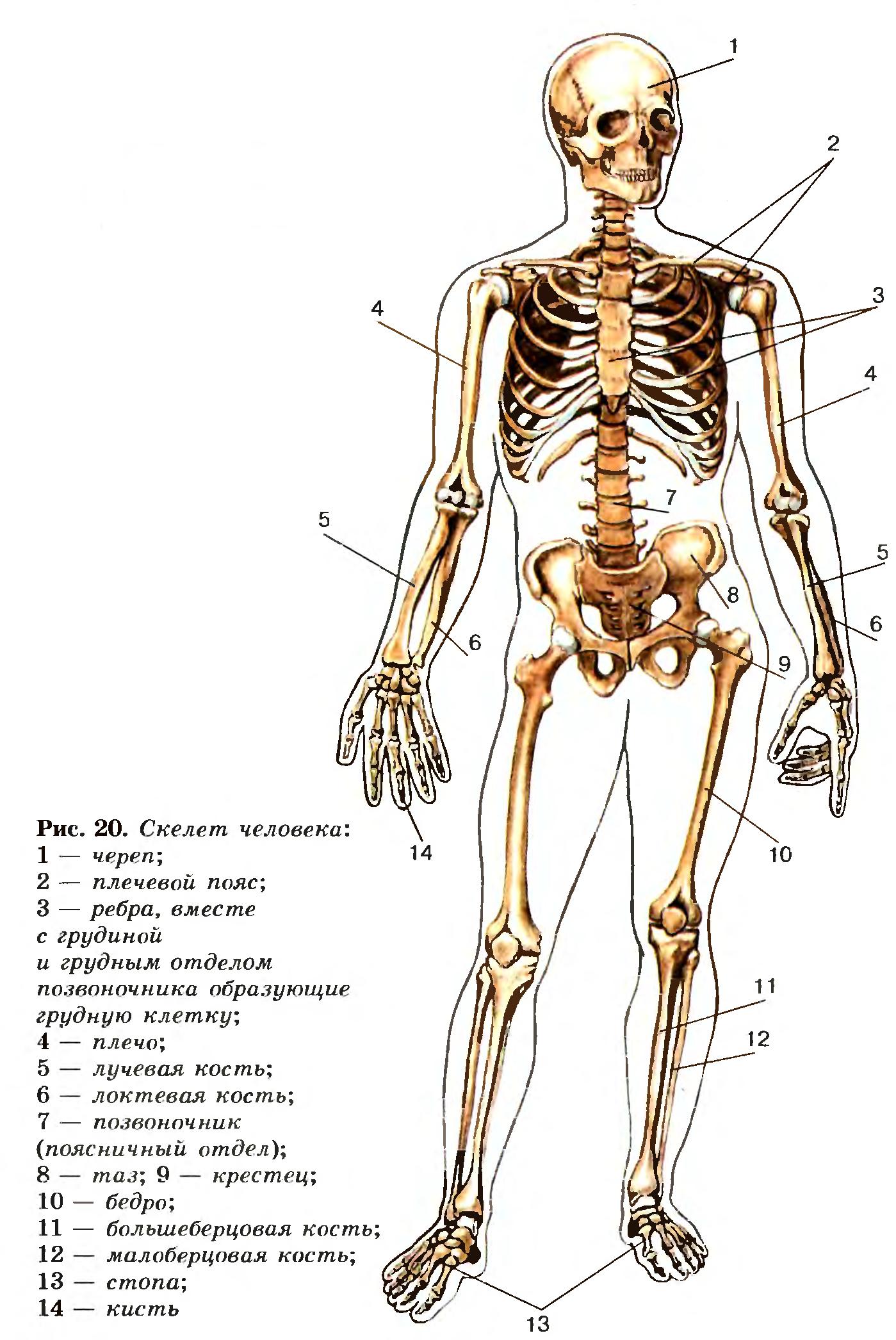 Реферат по скелету человека 4789