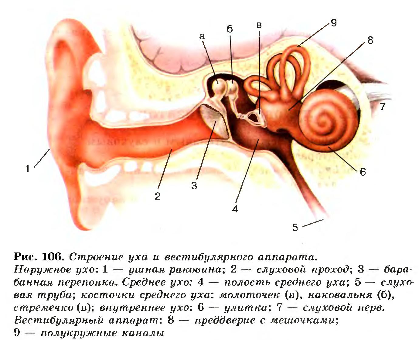 Рисунок уха с подписями