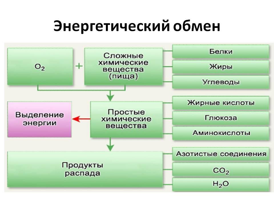 Обмен веществ и энергия в организме человека реферат 1185