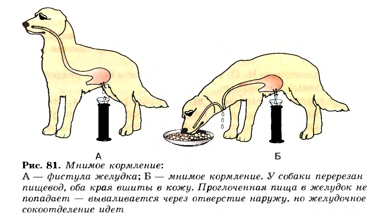 Гуморальная регуляция желудочного сокоотделения схематично фото 718
