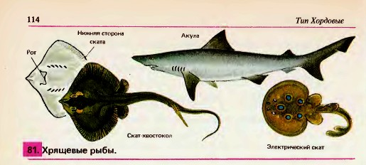 Многообразие рыб Класс хрящевые рыбы Гипермаркет знаний Класс хрящевые рыбы