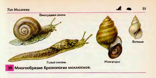 Многообразие и значение моллюсков реферат 923