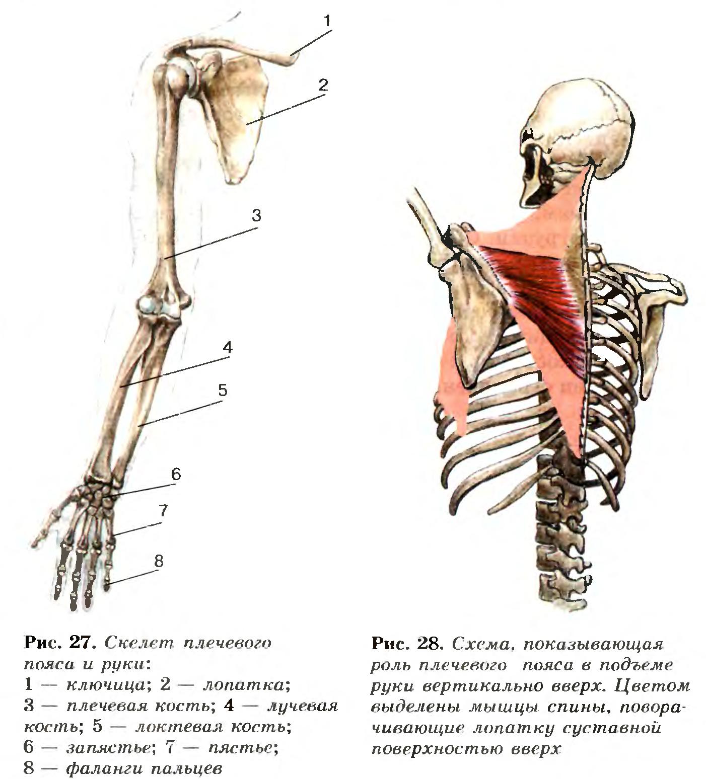 Пояс Плечевой