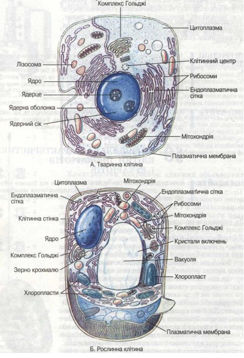 """Результат пошуку зображень за запитом """"будова клітини"""""""