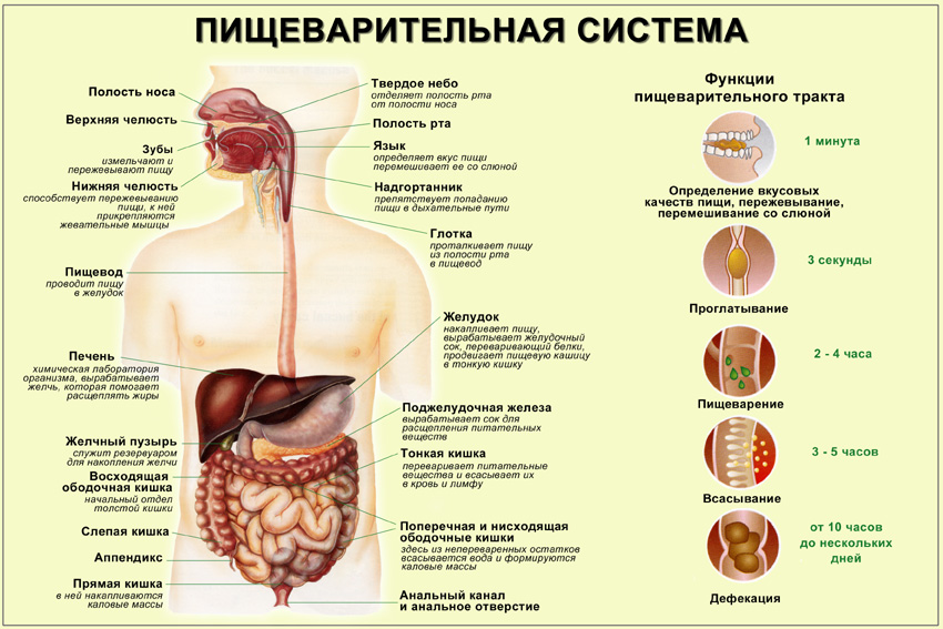 Конспект урока органы пищеварения человека 8кл
