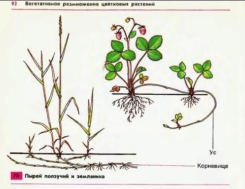 Вегетативное размножение растений реферат 5764