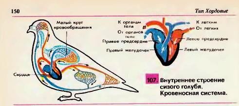 Особенности внутреннего строения птиц Органы чувств Гипермаркет  Внутреннее строение голубя