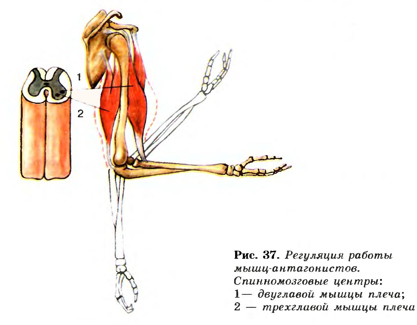 Характеристика основных групп скелетных мышц группа основные мышцы функции мышцы головы: 1 жевательные 2