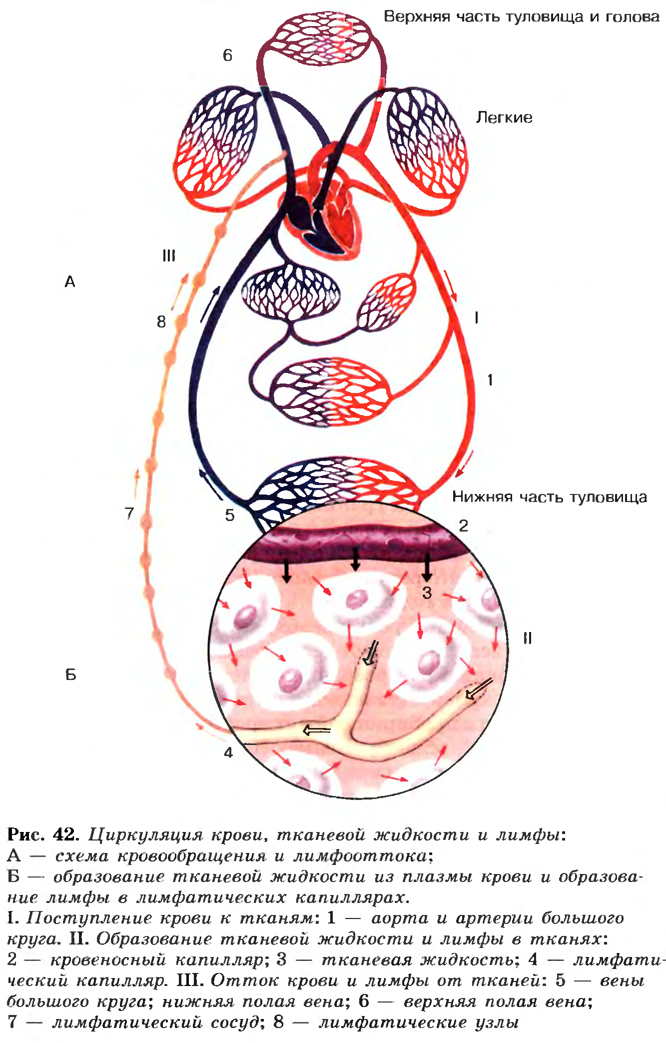 Схема циркуляции крови в организме