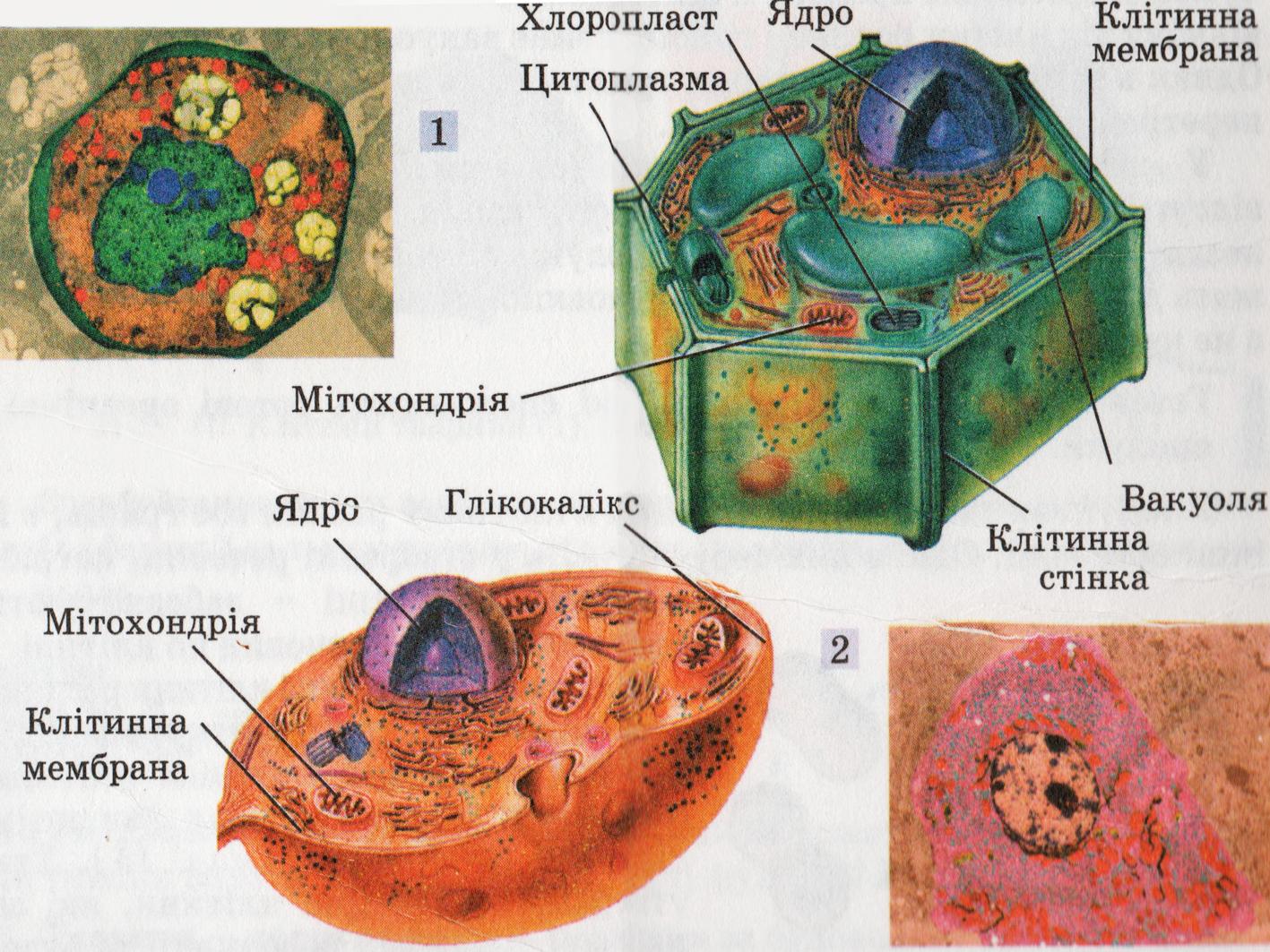 фото клітини тварин