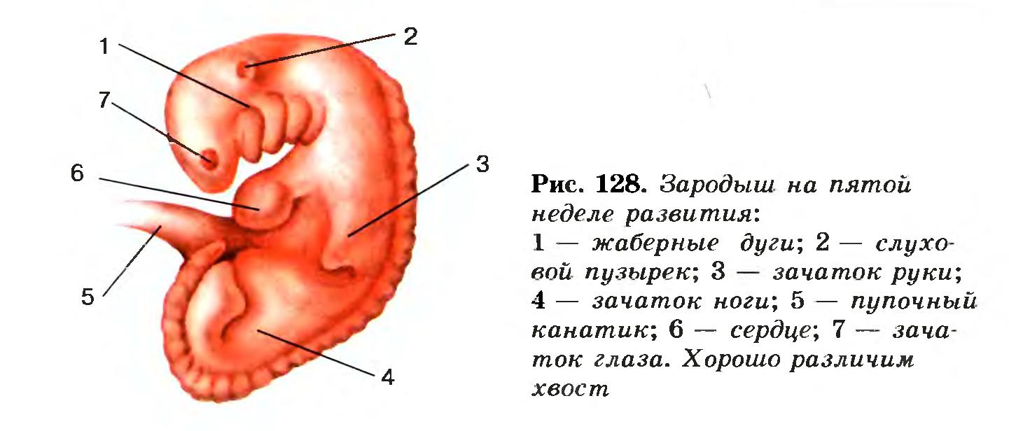 Что такое плацента и какова ее функция