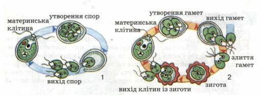 Картинки по запросу розмноження хламідомонади