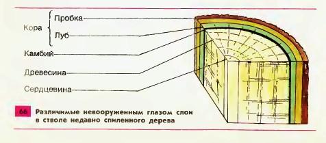 Доклад строение стебля биология