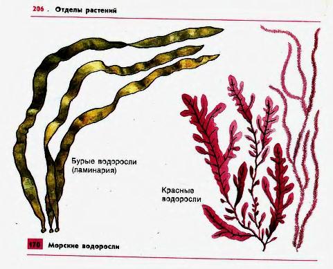 Реферат по биологии красные водоросли 7393