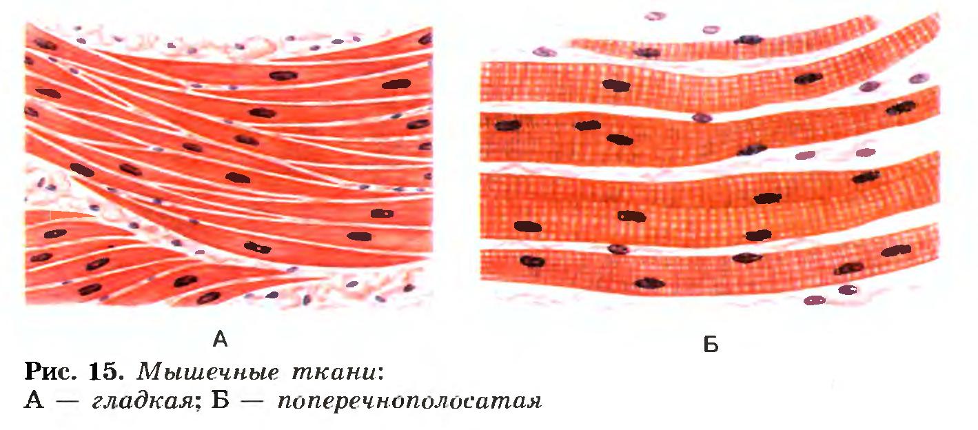 Гладкая или поперечно полосатая ткань образует диафрагму