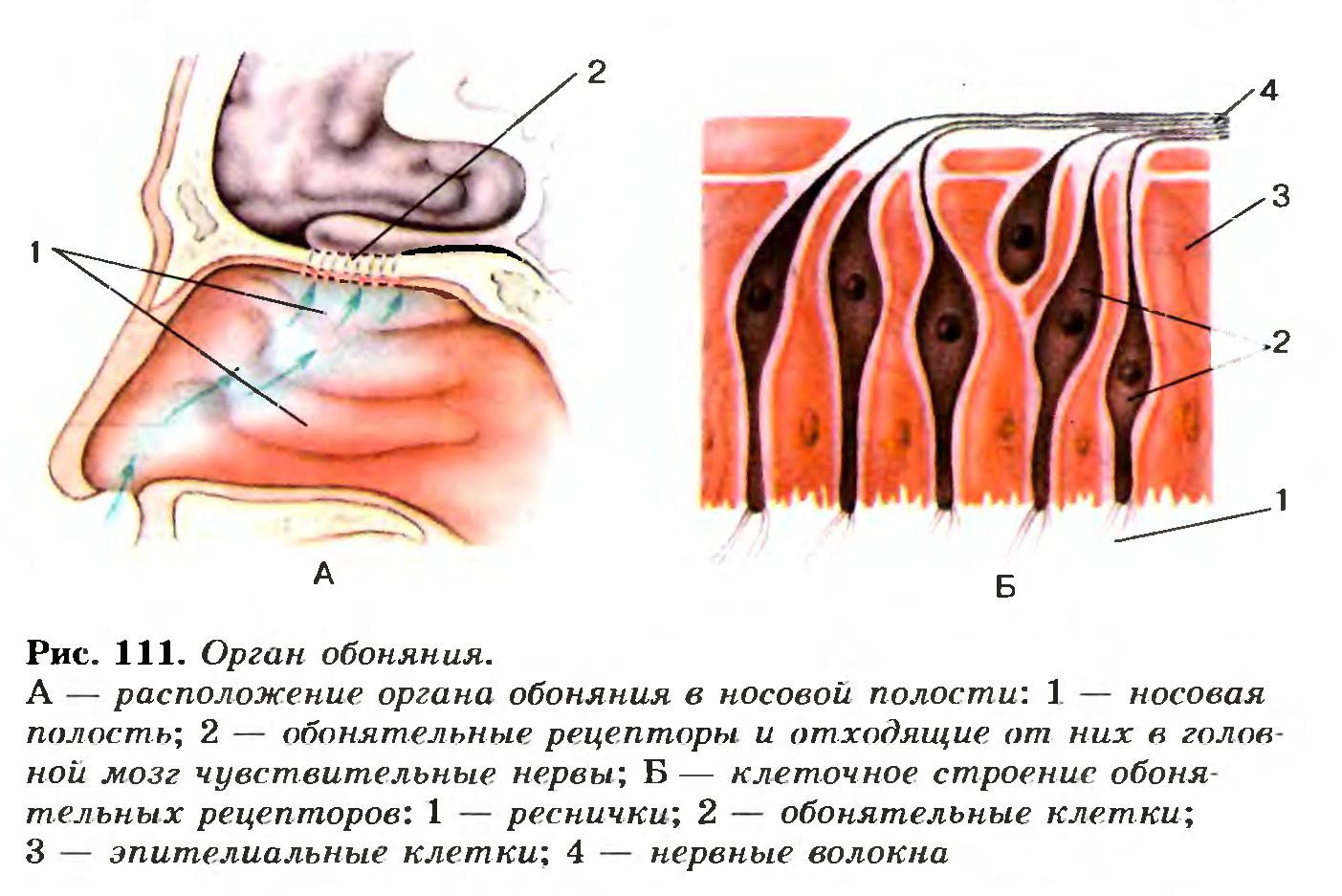Обонятельные рецепторы расположены в слизистой оболочке
