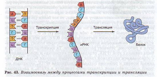 трансляция в биологии таблица
