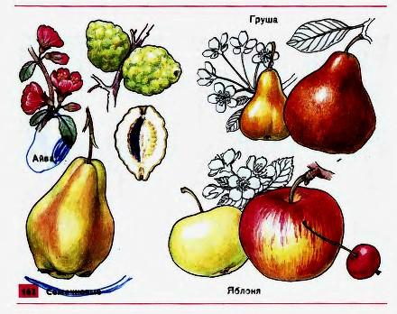 Плодово ягодные культуры Гипермаркет знаний Плодово ягодные культуры
