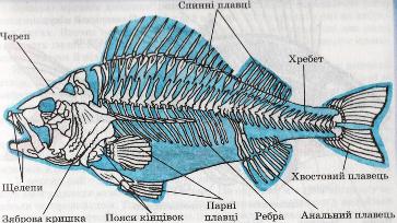 Скелет річкового окуня