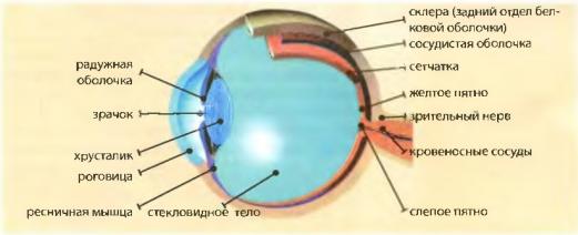 Оптическая система глаза реферат