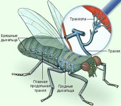 Газообмiн у тварин (на прикладі будови дихальної системи мухи).