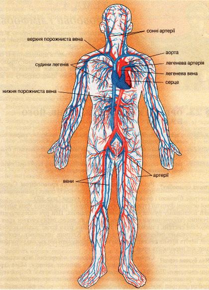 Реферат На Тему Серцево-Судинна Система