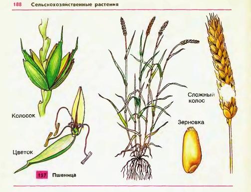 Пшеница схема растения