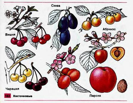 Плодово ягодные культуры Гипермаркет знаний Косточковые