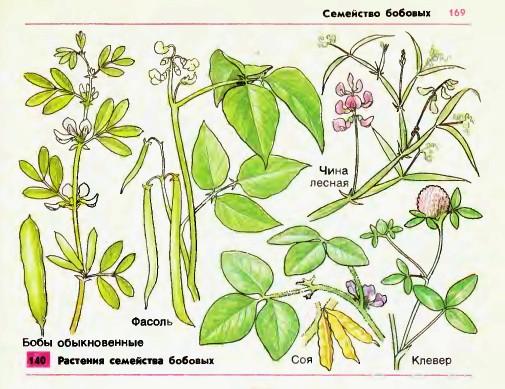 плоды растений семейства бобовых