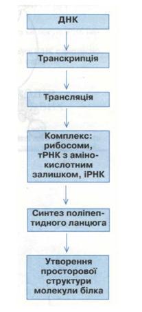 Етапи біосинтезу білка