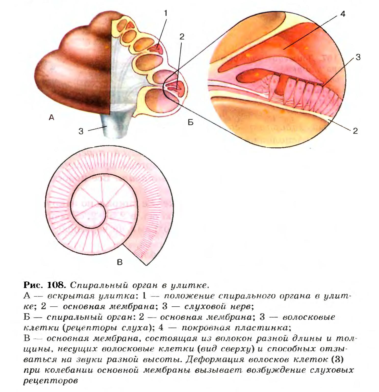 Орган спиральный