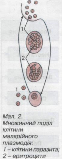 Поділ клітини