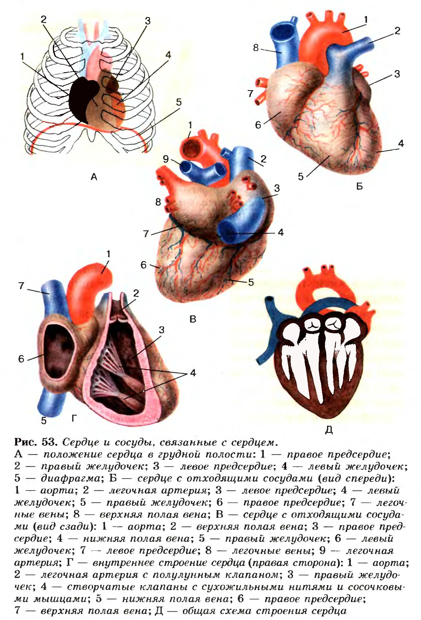С чем связано сердце
