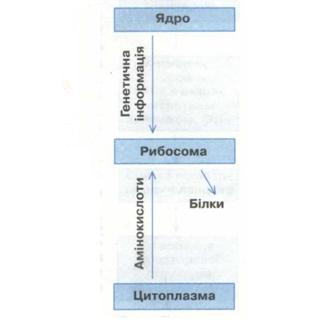 Схема біосинтезу білка